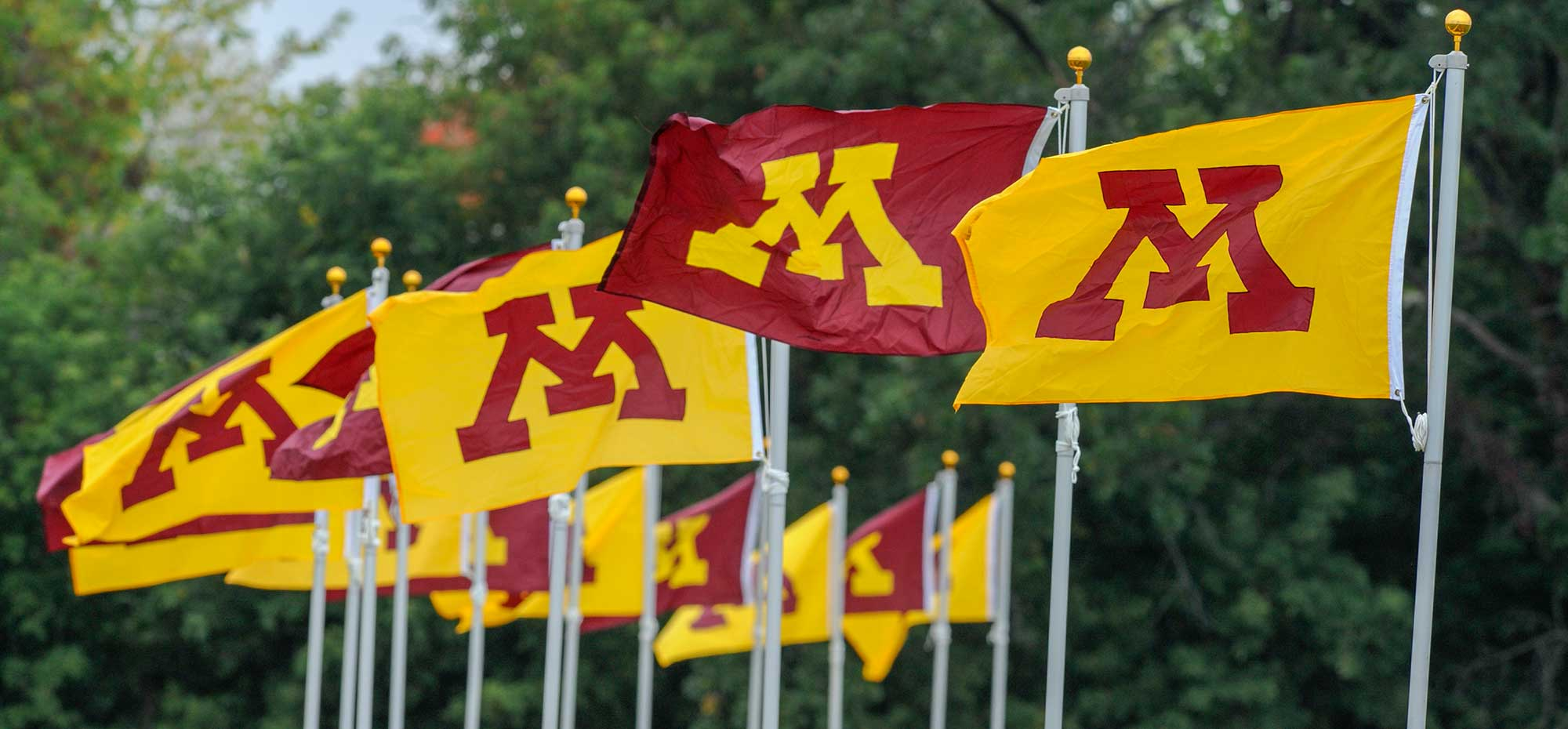 A group of gold and maroon flags with the Minnesota M on them.